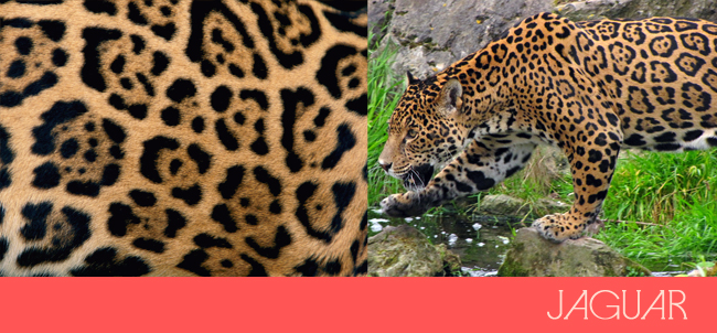 "66df833deebc We typically never use the term ""Jaguar Print"", but we can certainly see  the difference in the pattern! It is defined by a larger ""horseshoe"" shape  with ..."