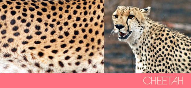 cheetah-spots-1